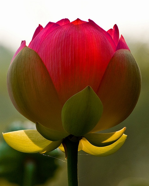 Opening-lotus-flower-photo-by-Charles-Sloger_image-via-Pinterest.jpg