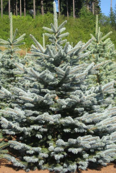 ColoradoBlueSpruce.jpg