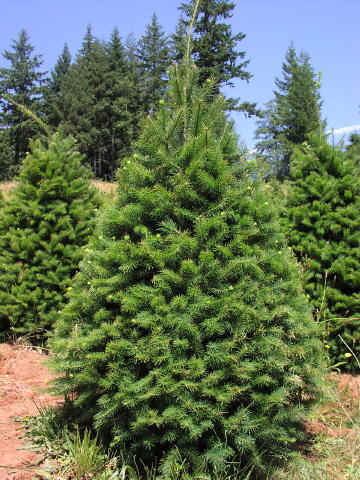 - Douglas Fir €� Forever Green Christmas Tree Farm