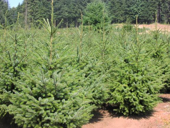 Our wonderful Serbian Spruce