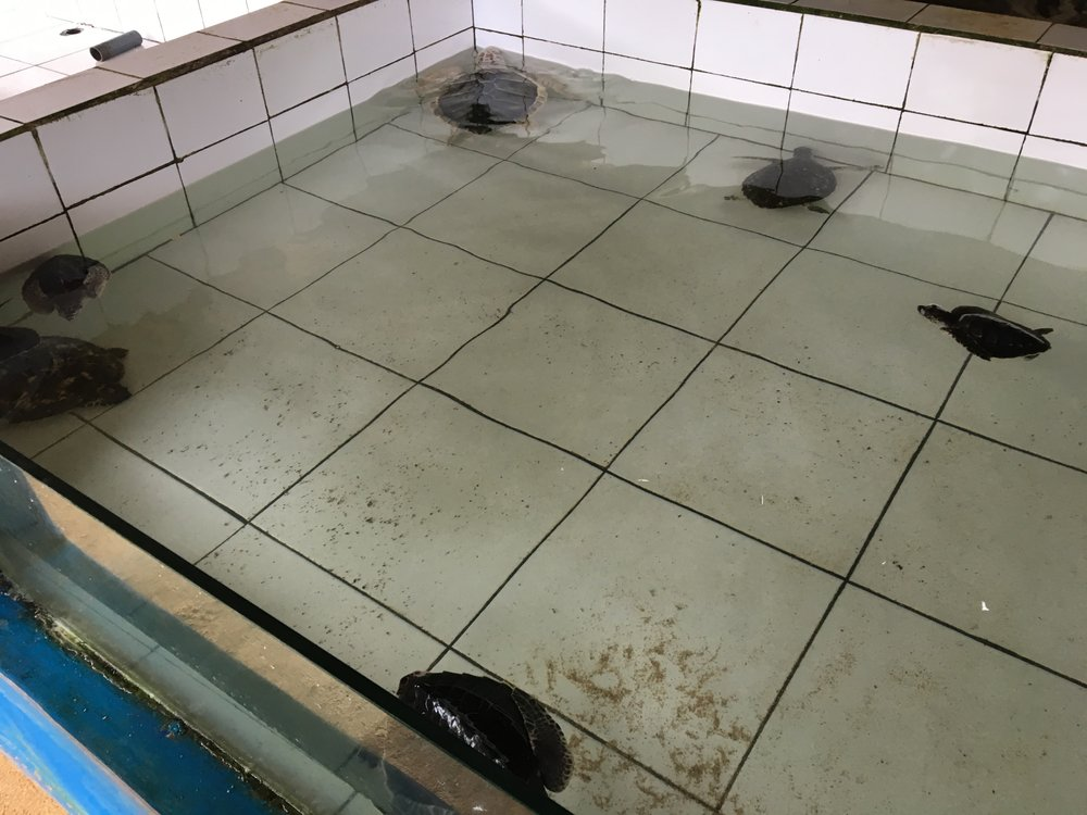 Young turtles in their tank at Turtle Island