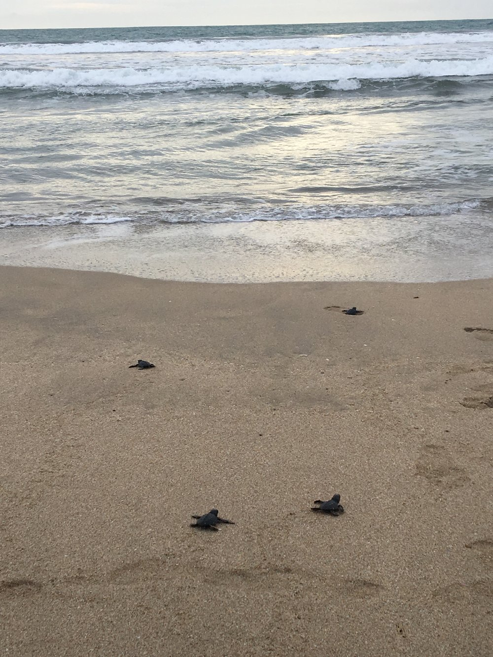 Baby sea turtles being released on Kuta Beach