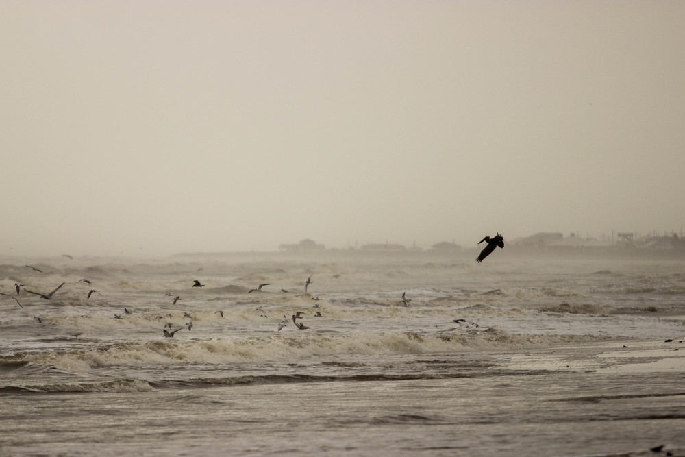 Pelicans and other seabirds near the beach, Grand Isle, La