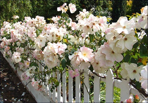 The Sally Holmes rose, a favorite of Julie Andrews
