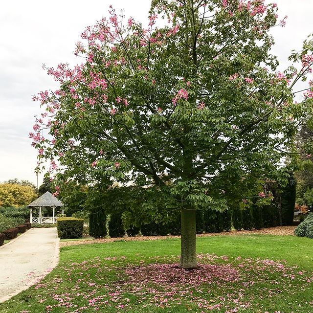 she loves... this romantic tree which sheds pink flowers instead of leaves.