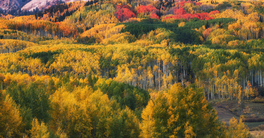 A telephoto image of the aspen trees along Kebler Pass near Crested Butte, Colorado as the peak of fall foliage nears.