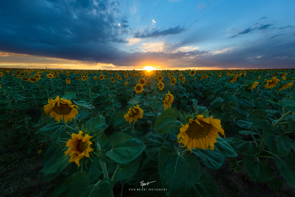 denver-international-airport-sunflowers.jpg