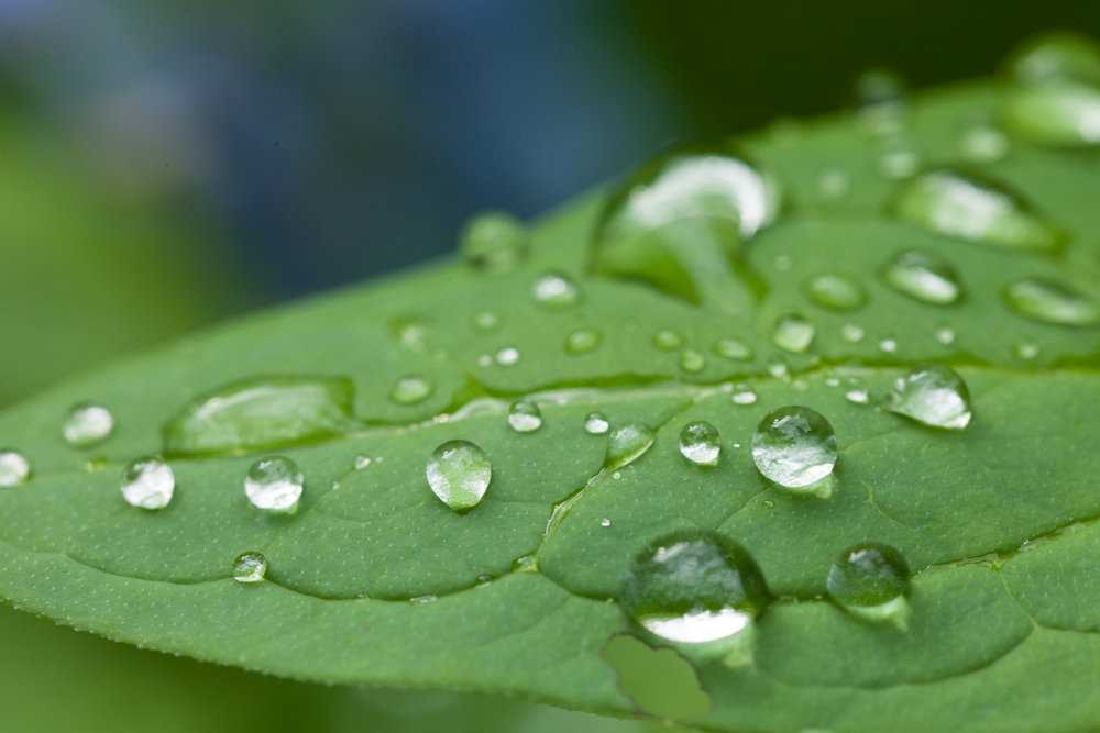 Leaf-Droplets.jpg