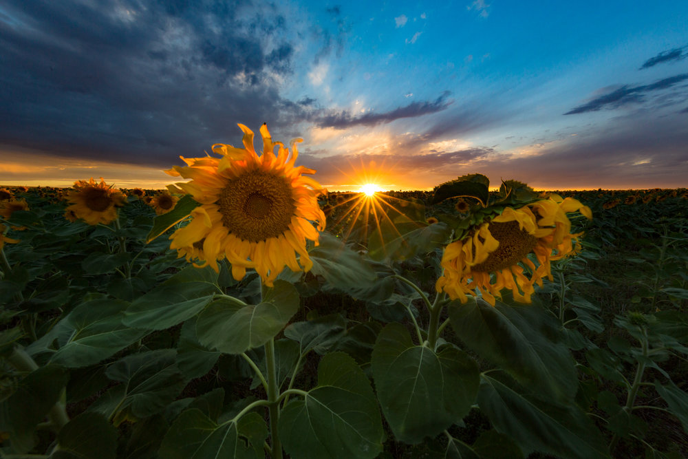 Every August, every year. Denver International Airport is far away from the mountains, but every August a magical scene unfolds. Giant sunflowers sprout up from the dry dirt and enormous fields of sunflowers fill the landscape for as far as the eye can see. There is only one catch, you have to know where they are!