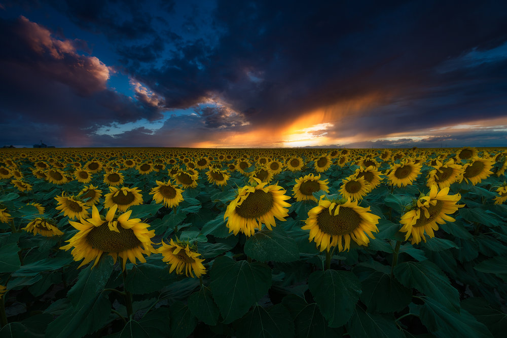 denver-sunflowers-sunset.jpg
