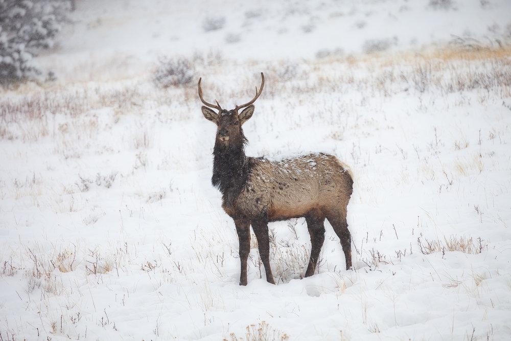 A bull elk posing in a meadow