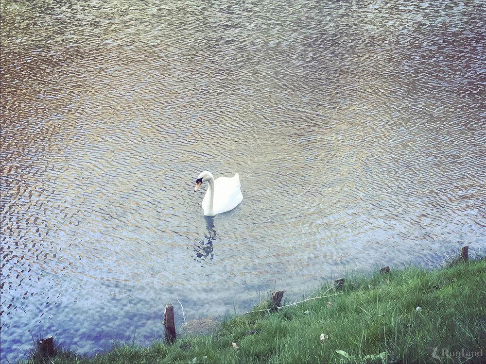 A white swan who swims alone  一只在湖中独游的白色天鹅