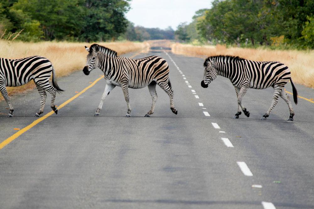 katevanamringephotography_zebras (1 of 1).jpg