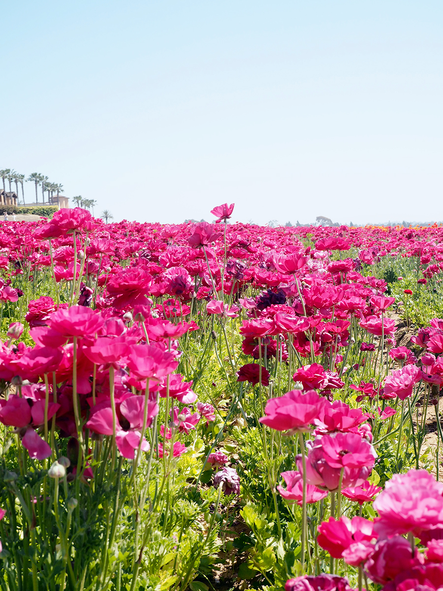 The flower fields at carlsbad ranch mona saga the flower fields at carlsbad ranch mightylinksfo
