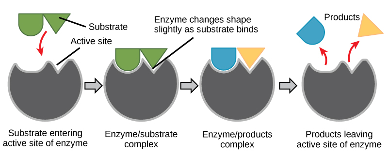 Enzyme+Substrate+reaction.jpg