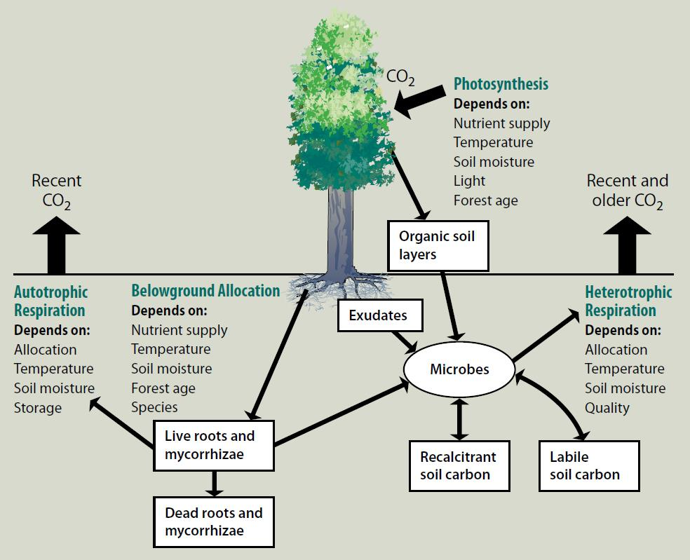 Figure 1.  Conceptual model of the components and responses of CO2 efflux from soil. Both the autotrophic and heterotrophic components of soil respiration are strongly controlled by substrate availability – phloem transport of carbohydrate supply for root and mycorrhizal respiration, and dead organic material for microbial respiration   Gu, L et al. 2004 (4) .