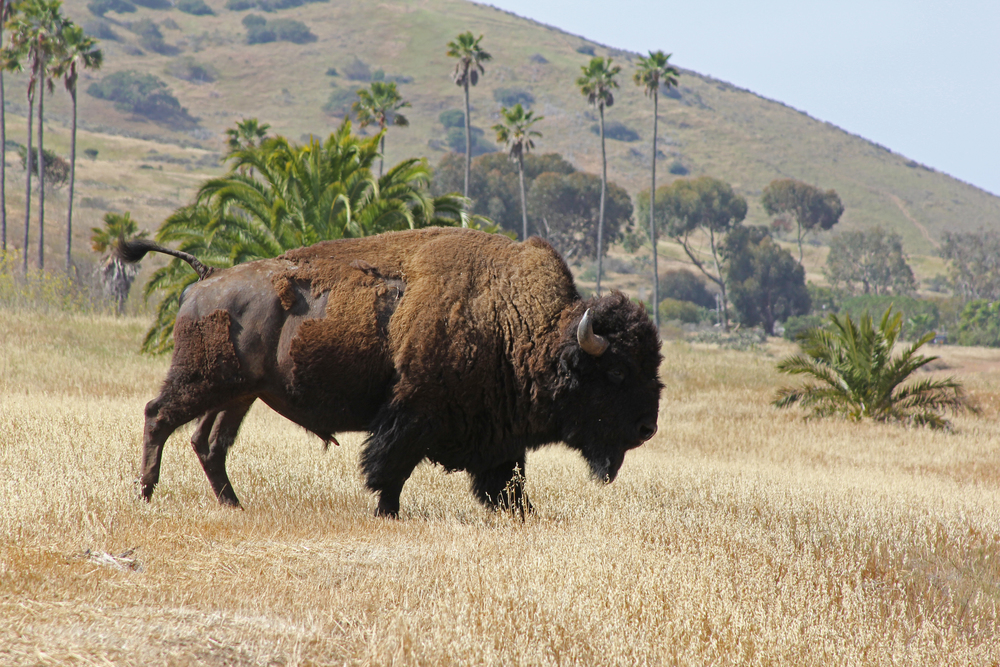 Catalina Island Buffalo