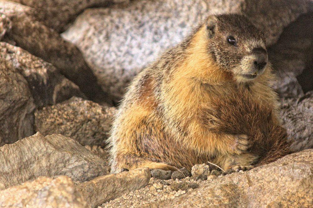 Sierra Marmot
