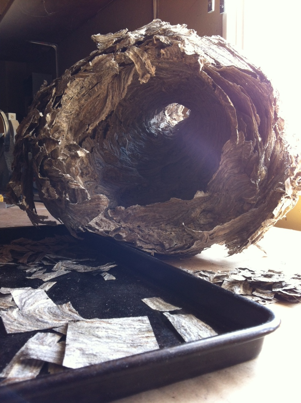 A hollowed out bald-faced hornet's nest during art making.