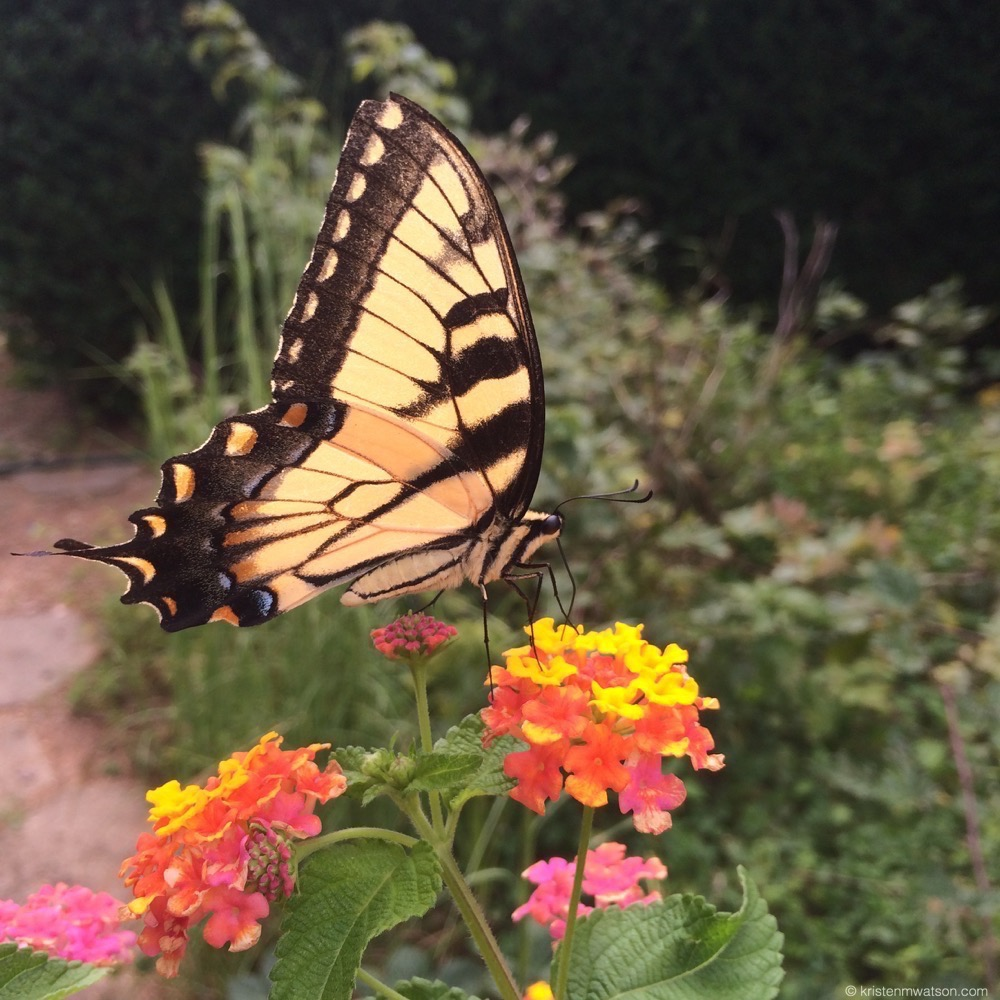 Butterflies visit the Lantana plants daily in the Pottery garden.