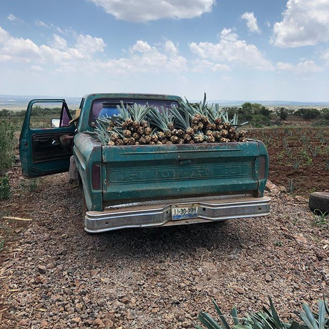 Ready to plant the next generation. #agavelove #highlands #tequila . . . #jalisco #craft #craftspirits #crafttequila #craftcocktails #tequilaartesanal #smallbatch #foodie #mixology #puntagave #agavespirits