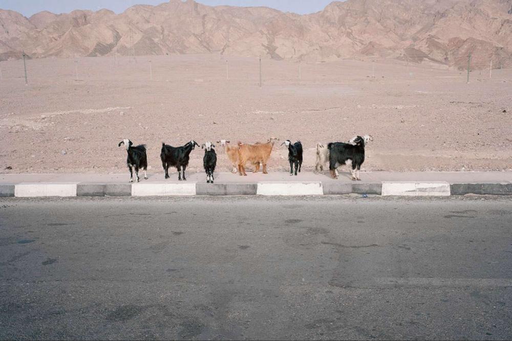 3.Πάρης Πετρίδης_Σινά, 2010_81χ97 (αγελαδες έρημος) .png