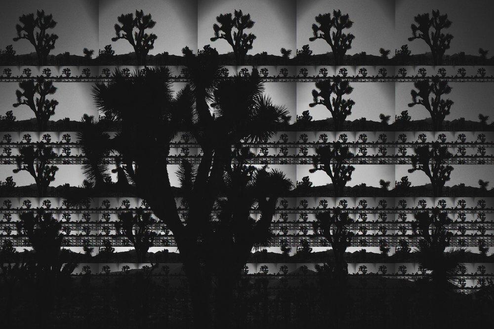 Joshua_Trees_2.jpeg