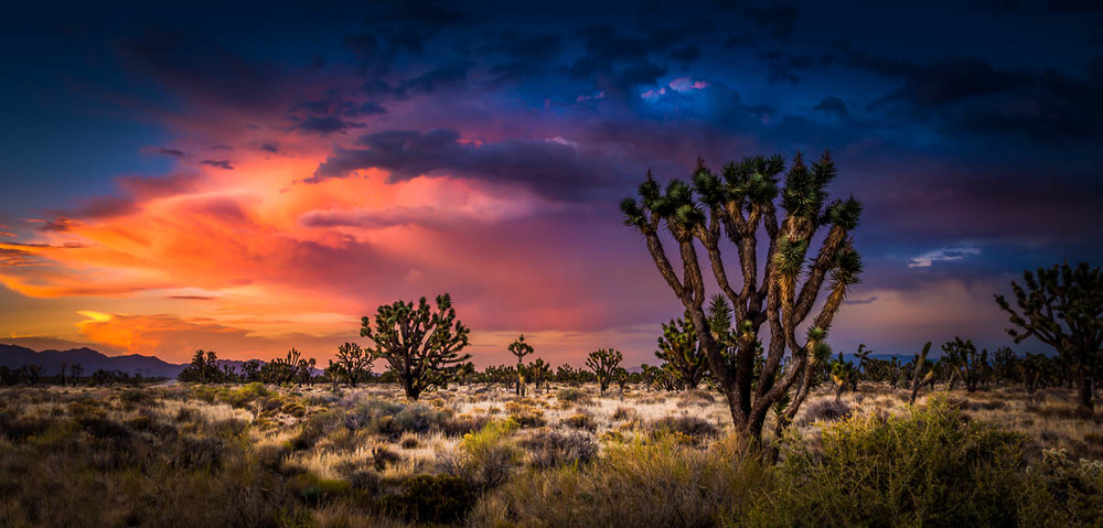 Mojave National Preserve Joshua Trees Sunset.jpg
