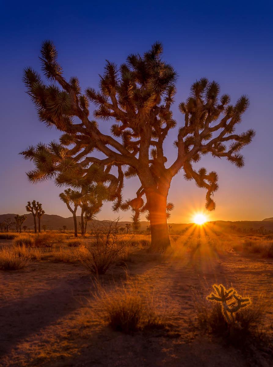 Joshua Tree Silhouette