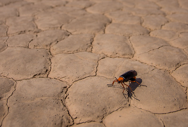 Large insect on the Racetrack in Death Valley