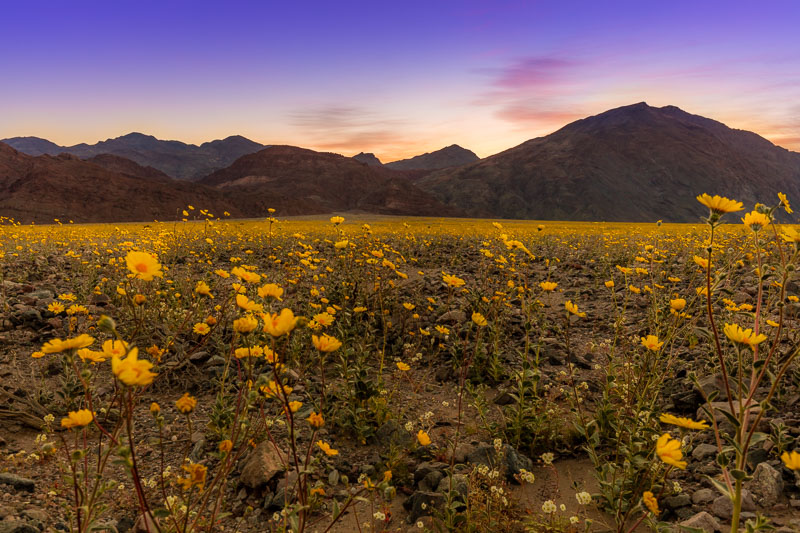 Early Morning Wildflowers, Death Valley National Park