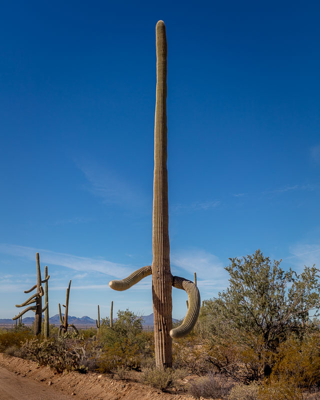 The Dancer, Saguaro National Park