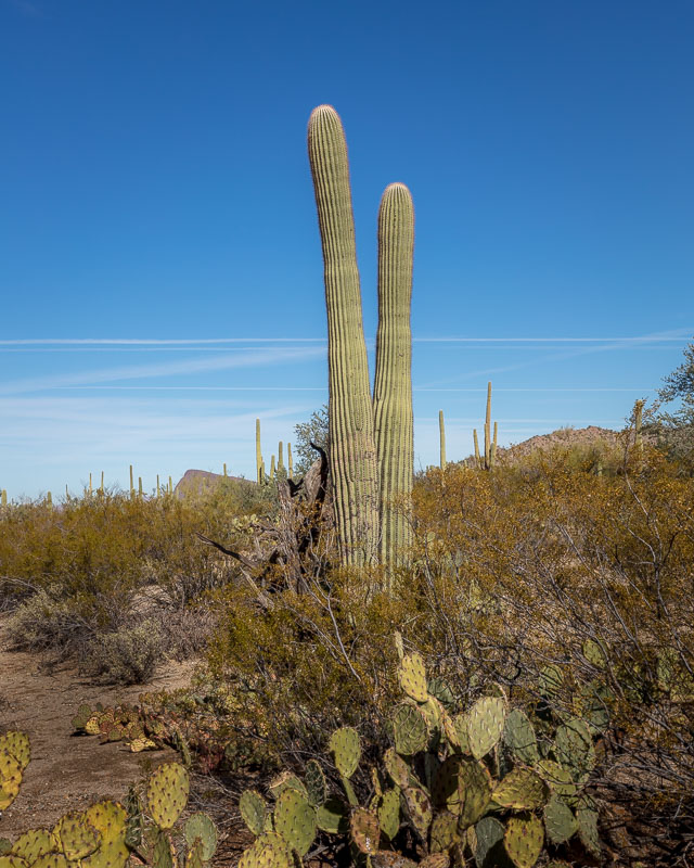 The Diver, Saguaro National Park