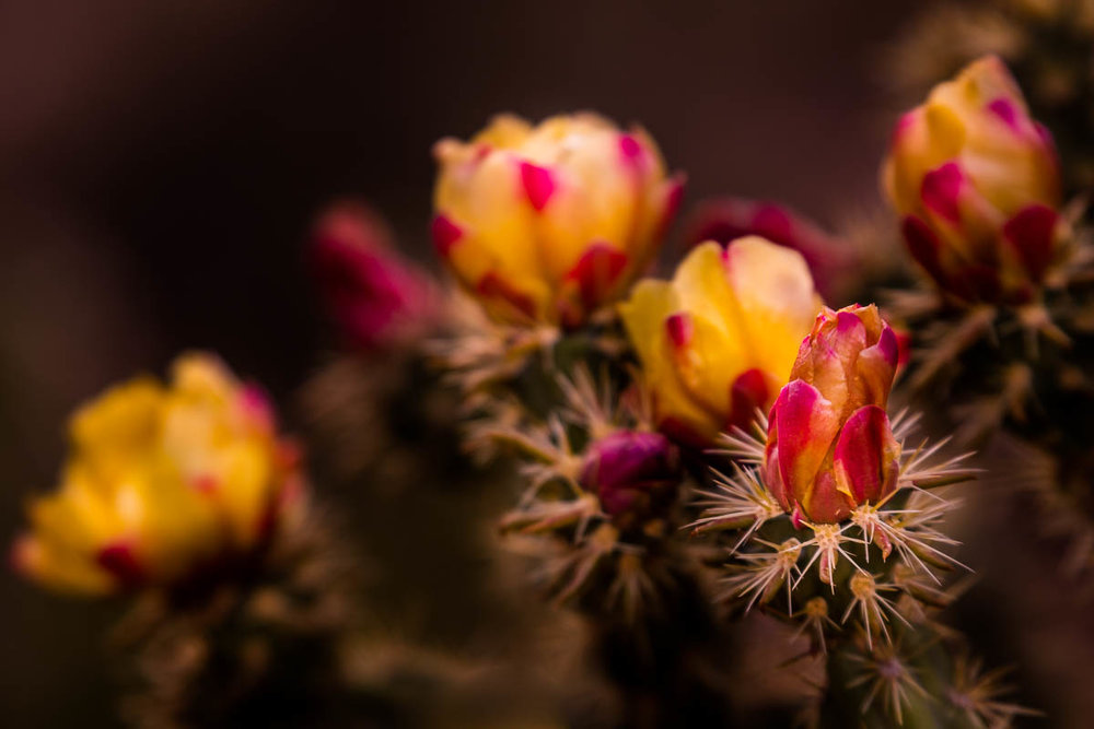 Blooming Cactus at Red Rock