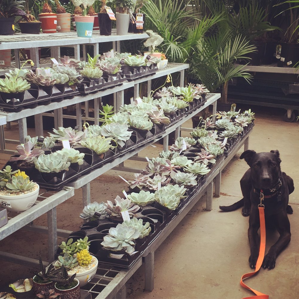 Indy (Alumni) on a day trip to RONA, holding a Down in the plant section. Indy was once human/dog reactive, but you should see her now!