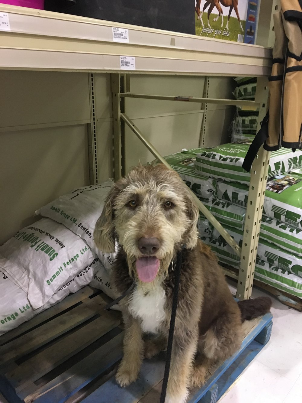 Sonic, a labradoodle out on a day trip to Peavey Mart