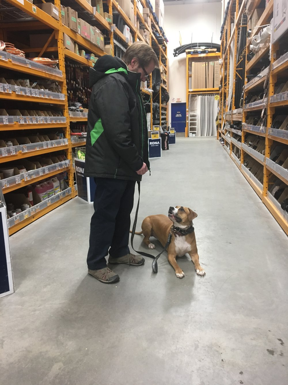 Lacey, a pit mix out on a real world lesson with her Dad and Shayla to RONA