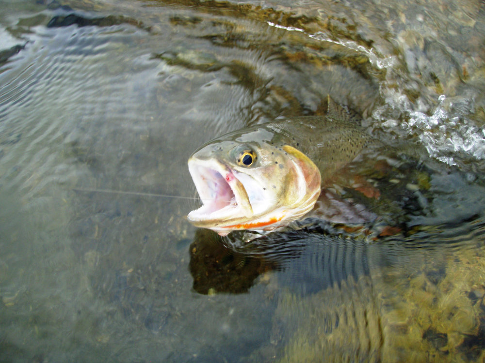 Extensive stocking of rainbow trout has led to the proliferation of hybrids like this 'cutbow,' a common occurrence in the native range of the cutthroat. Hybridization of hatchery stock with wild rainbow trout poses the risk of diluting the genetic diversity of rainbows across the species' own native range. As part of UFRBWA I have been attempting to establish the relative magnitude of stocking efforts across the Basin, in an effort to determine where observed wild populations of rainbow trout may have incurred little or no hybridization. (Photo: Wikipedia)