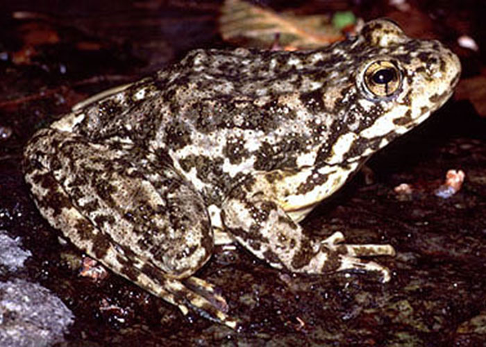 Mountain yellow-legged frogs are native to the Sierra Nevada. In the mid-90s Roland Knapp, a researcher working with the University of California and California Department of Fish and Wildlife discovered that the extensive fish stocking of high mountain lakes in the Sierra Nevada had likely decimated the species. Extensive efforts to reverse that trend are now underway. The results of the UFRBWA may be used in comparison with the results of similar efforts surrounding other taxa to ensure that fisheries restoration does not result in the decline of other species of concern. (Photo: Wikipedia)