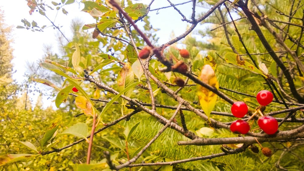 Western Chokecherry, and other wild berries, have ripened by late summer, an annual reminder that Fall is near (and that it might be time to make syrup).