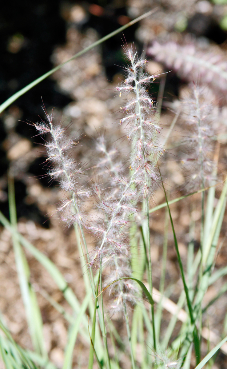 pennisetum carly rose