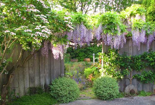 Promoting Wisteria Bloom: Part 1 — Swansons Nursery - Seattle\'s ...
