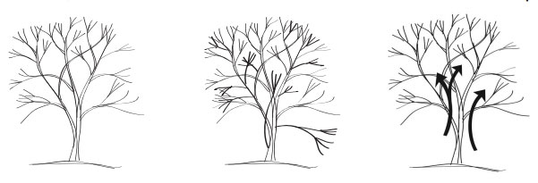 Pruning Ornamental Trees Swansons Nursery Seattles Favorite