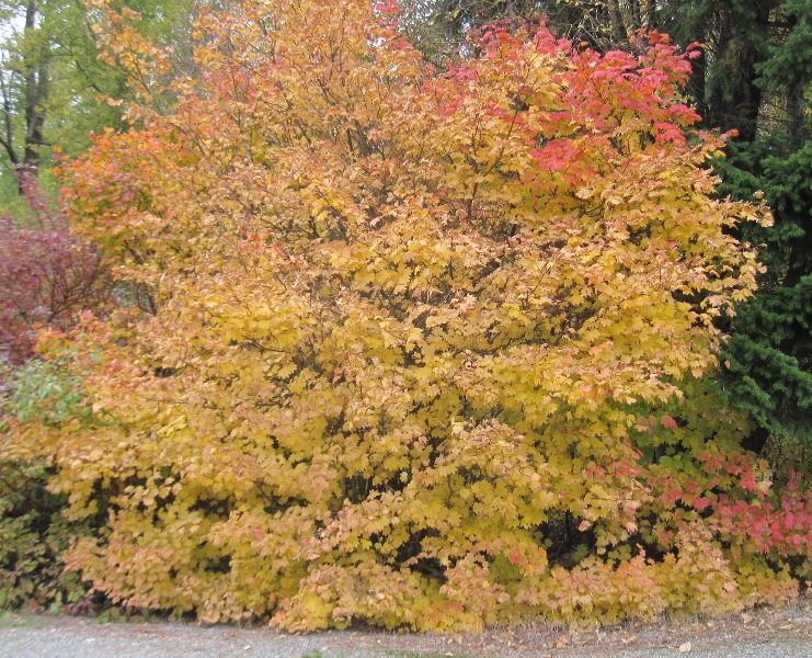 Acer circinatum fall color