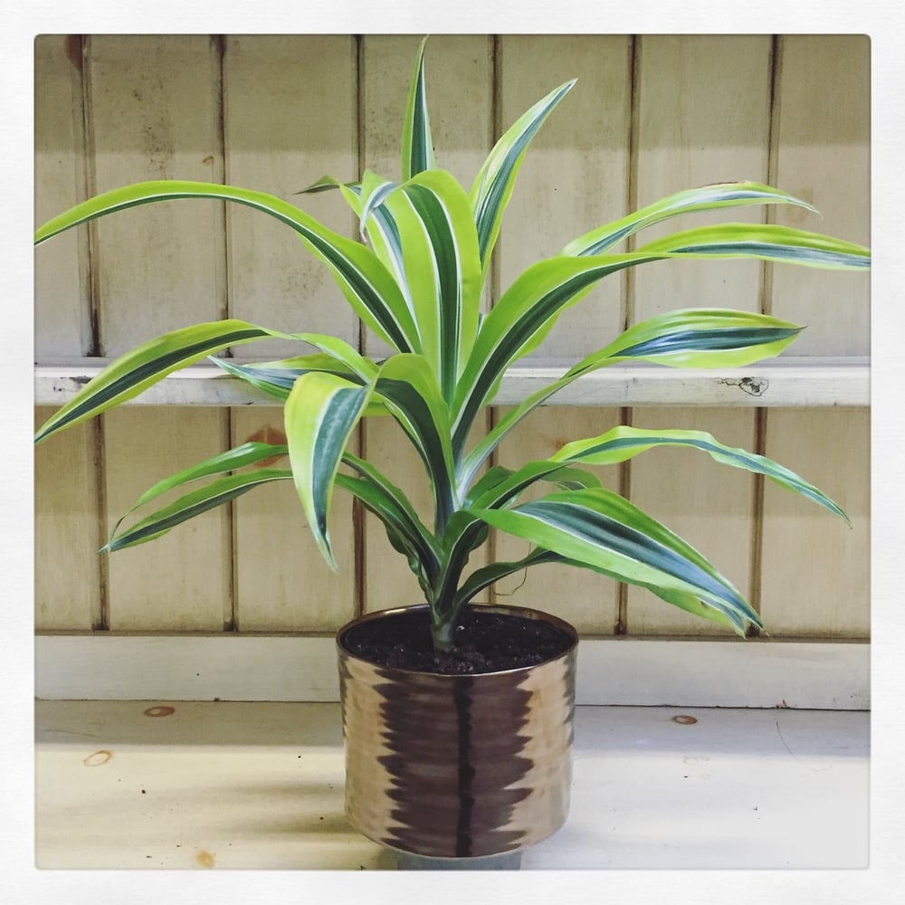 Lemon Lime Variegated Dracaena