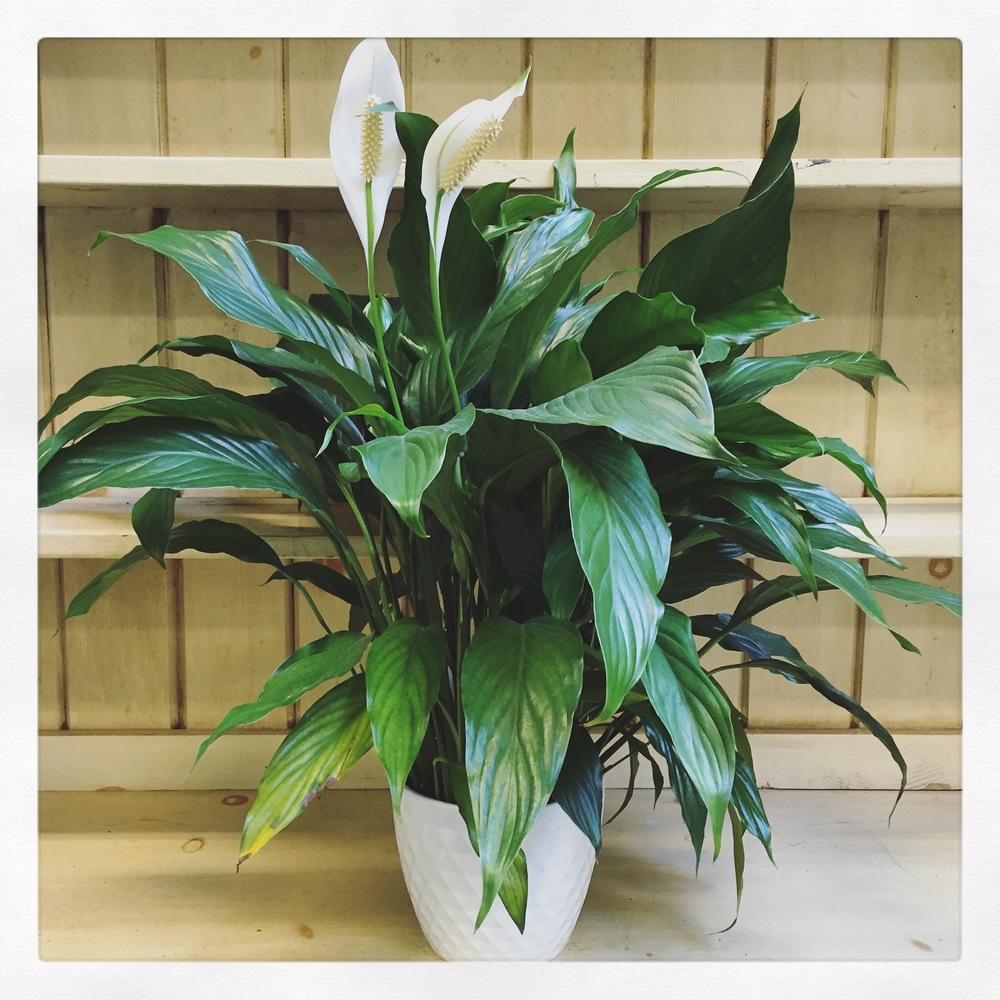 Indoor plants for all light levels swansons nursery seattles low light peace lily 2g izmirmasajfo