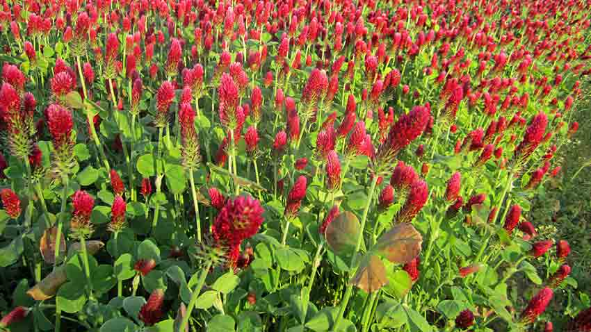 Crimson Clover Cover Crop photo: underwoodgardens.com