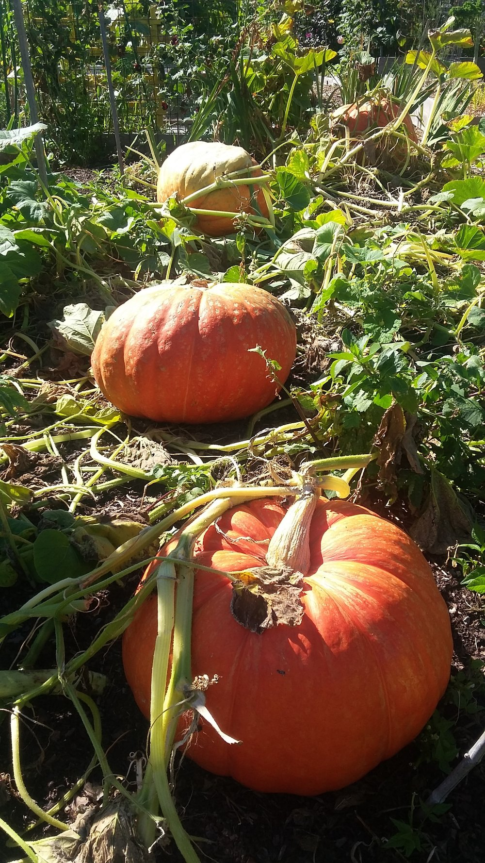 Interbay P-Patch Pumpkins photo: Rolf Hokansson