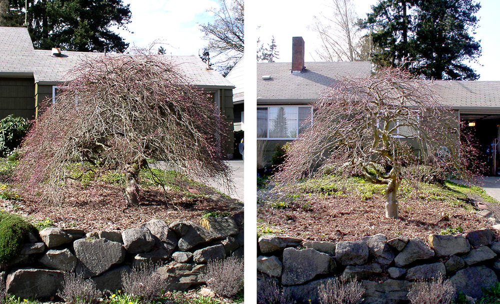 Winter thinning of a weeping Japanese maple, before and after.