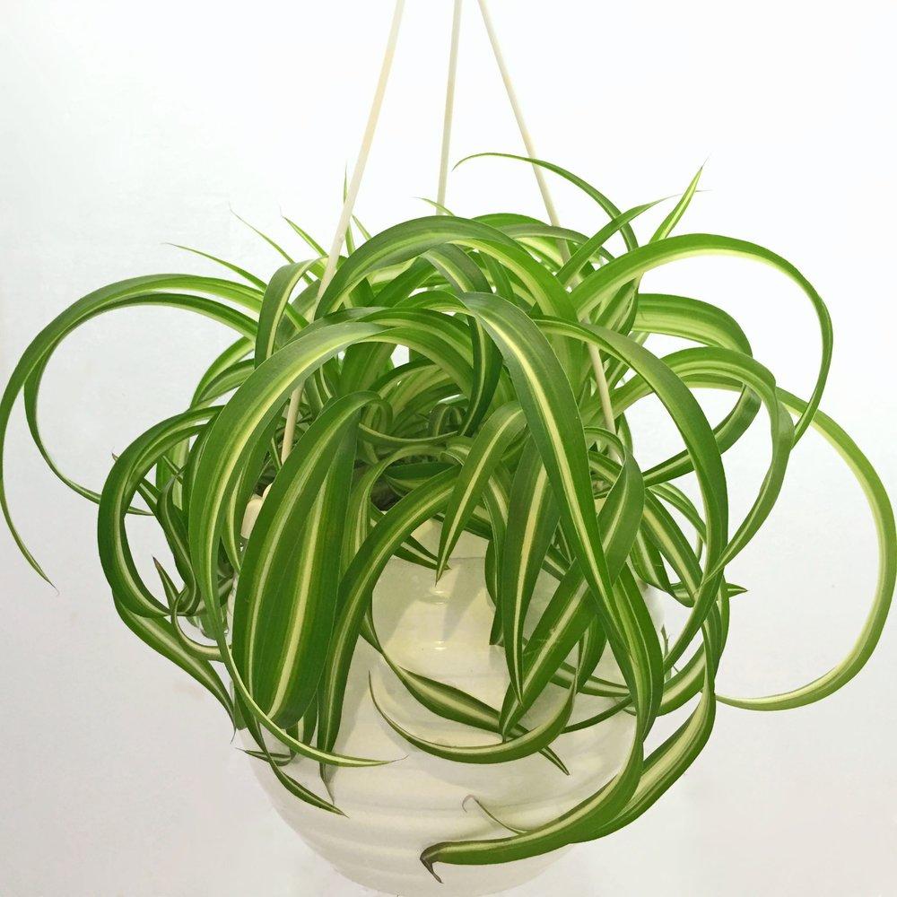 Chlorophytum comosum 'Curly Sue'